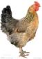 四川土鸡-遥鸡-草鸡-三黄鸡-青脚麻鸡-铁脚麻鸡-快大黄鸡