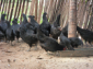 四川绿壳蛋鸡苗-五黑鸡苗-纯种绿壳蛋鸡苗-乌鸡苗